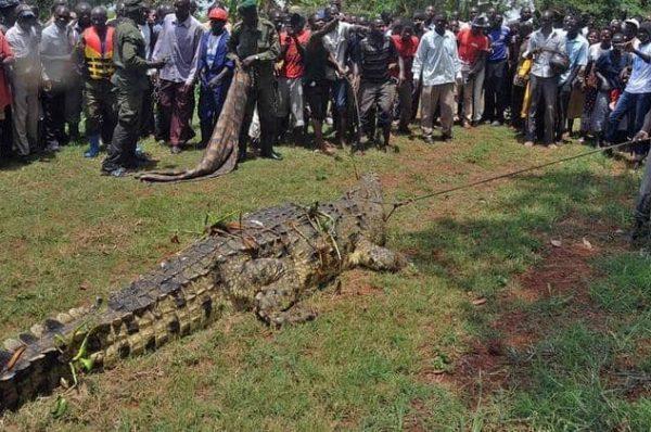 """صورة:سكان قرية لوغانغا الأوغندية يلقون القبض على قاتل العشرات التمساح """" أسامة الخطير """""""